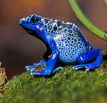 poison arrow frog or blue poison frog blue frog sitting on moss zoo Leipzig Saxony Germany