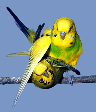 budgerigar mating male and female budgerigar portrait Animals