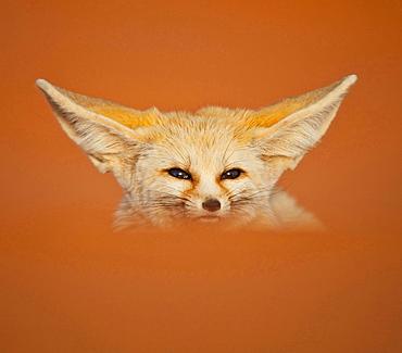 fennec fox desert fox sitting in orange brown desert dune sand outdoors single animal head portrait funny animals Morocco North Africa Africa