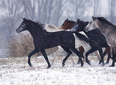 horse Arabian Arab horse herd young stallions in winter stud national stud Babolna Hungary Europe