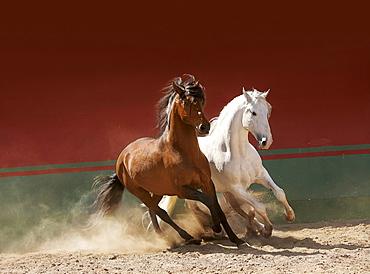 horse Lusitano two stallions stud Las Morerias Mexico America