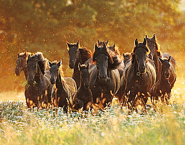 horse Friesian Frisian herd mares with foals in the evening light stud Black Pearl France Europe