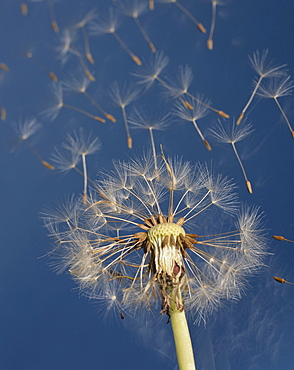 dandelion seed dispersal seedhead with blowing seeds