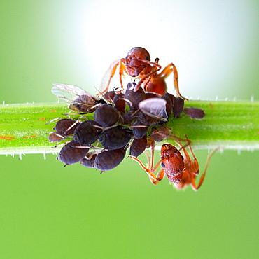 Two brothers shepherd. Nature, Moldova, macro, ant, ants, insect, summer, Green,  Flower, shepherd