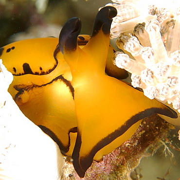 Pleurobranch sidegill slug (Berthella martensi) detail, Puerto Galera, Mindoro, Philippines, Southeast Asia, Asia