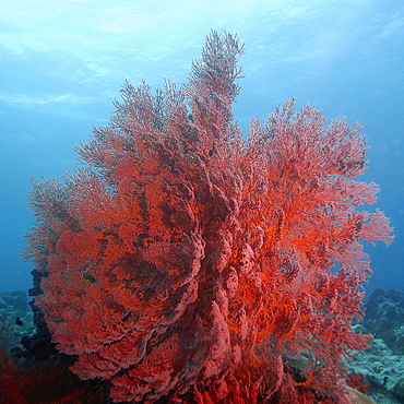 Gorgonian sea fan, possibly Astrogorgia sp., Ulong channel, Palau, Caroline Islands, Micronesia, Pacific Ocean, Pacific