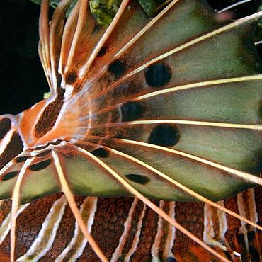 Spotfin lionfish, Pterois antennata, abstract fin detail, Dumaguete, Negros, Philippines, Southeast Asia, Asia