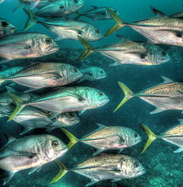 Jack fish in HDR, Bahamas, West Indies, Central America