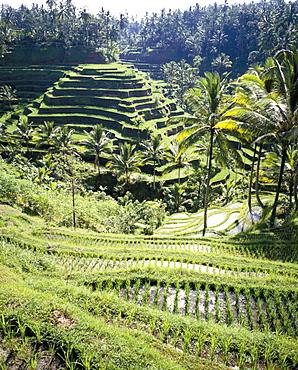 Terraced rice fields, Bali, Indonesia, Southeast Asia, Asia