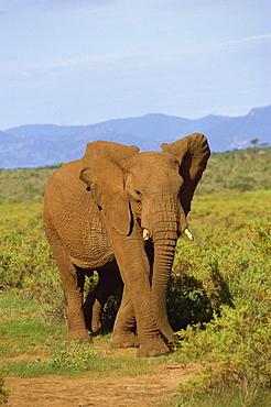 Elephant, Samburu, Kenya, East Africa, Africa