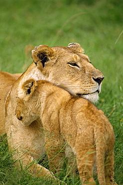 Lioness and cub, Masai Mara National Reserve, Kenya, East Africa, Africa