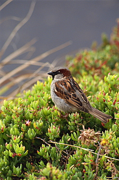 House sparrow, St. Mary's, Isles of Scilly, United Kingdom, Europe