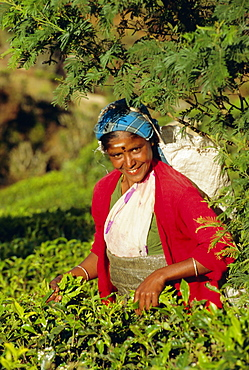 Woman plucking tea, Nuwara Eliya area, Sri Lanka