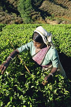 Tea plucking, Nuwara Eliya area, Sri Lanka, Asia