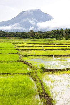 Paddy fields with mountain in the background, Sri Lanka, Asia