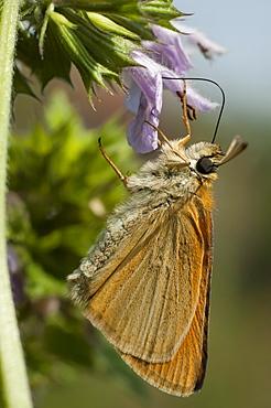 Skipper (Hesperiidae), North West Bulgaria, EuropeSub order Rhopalocera;Family Hesperiidae - 1001-104