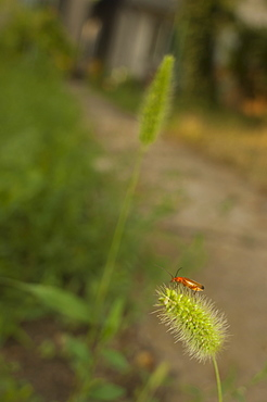 Soldier beetle (Cantharis rustica), North West Bulgaria, Europe