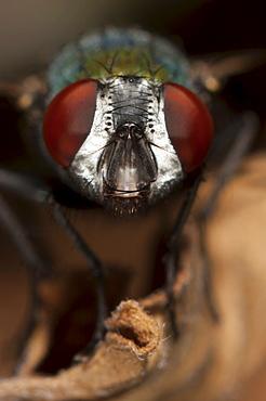 Fly (Diptera) (true flies), North West Bulgaria, EuropeOrder Diptera (True flies)