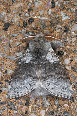 Pale tussock moth (Calliteara pudibunda) (Dasychira pudibunda), Bettel, Luxembourg, EuropeFamily Lymantriidae