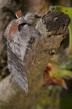 Pale tussock moth (Calliteara pudibunda) (Dasychira pudibunda) (Orgyiinae), Bettel, Luxembourg, EuropeFamily Lymantriidae