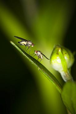 True flies (Diptera), North West Bulgaria, Europe