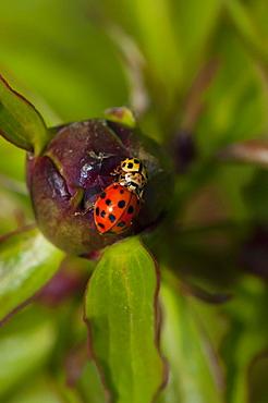 Ladybirds (Ladybug) (Coccinellidae), North West Bulgaria, Europe