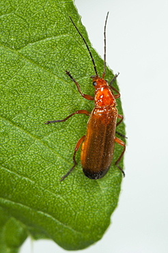 Soldier beetle (Cantharis rustica), South West Bulgaria, Europe