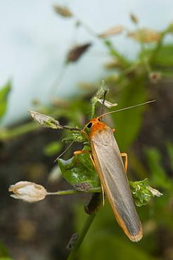 Scarce footman (Eilema complana), North West Bulgaria, EuropeFamily Arctiidae;Sub family Lithosiinae