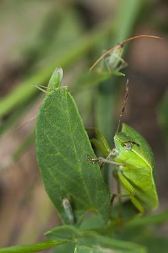 Shieldbugs (Pentatomoidea), Bulgaria, Europe