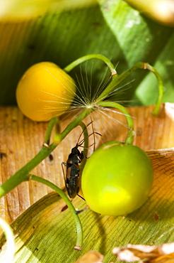 Groundbug (Rhyparochrominae), North West Bulgaria, EuropeFamily Lygaeidae