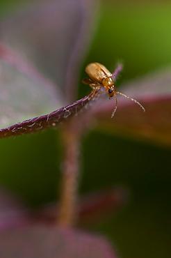 Jumping leaf beetle, North West Bulgaria, EuropeOrder Coleoptera