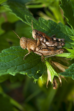 Grasshoppers or crickets mating (Orthoptera) (Ensifera), North West Bulgaria, Europe