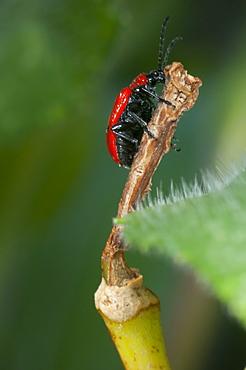 Scarlet lily beetle (Lilioceris lilii), North West Bulgaria, Europe