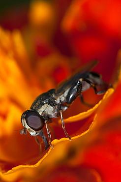 Hoverfly (Syrphidae), North West Bulgaria, EuropeOrder Diptera (true flies);Sub-order Cyclorrhapha