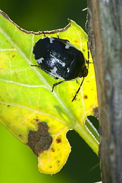Beetle, North West Bulgaria, EuropeOrder Coleoptera