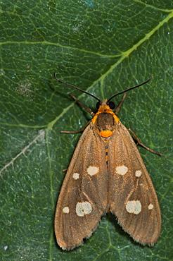 Dysauxes famula, Syntominae, North West Bulgaria, EuropeFamily Arctiidae
