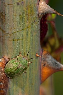 Cassida (Tortoise beetle), Chrysomelidae, North West Bulgaria, Bulgaria, Europe