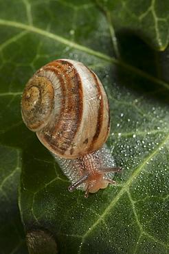 Phylum Mollusca, Class of Gastropoda, North West Bulgaria, Bulgaria, Europe