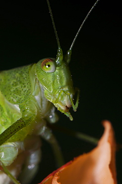 Great green bush-cricket (Tettigonia viridissima), Bulgaria, Europe