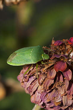Southern green shieldbug (Nezara viridula) (Pentatomidae), Bulgaria, Europe