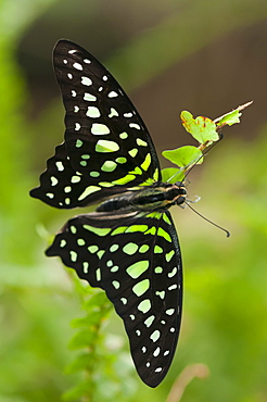 Green-spotted triangle (tailed green jay) (green triangle) (Graphium agamemnon) (Papilionidae), Grevenmacher Butterfly Garden, Luxembourg, Europe