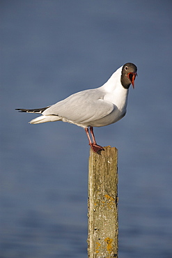 Blackheaded gull (Larus ridibundus). UK
