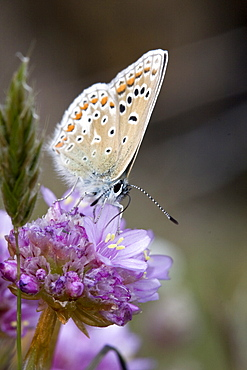 Common Blue Butterfly (Polyommatus icarus). Sark, British Channel Islands, UK - 1004-252