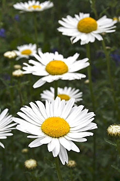 Ox-eye daisy (Leucanthemum vulgare). Sark British Channel Islands, UK