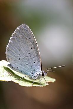 Holly Blue. Eperquerie Common, Sark, British - 1004-341