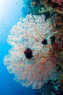 Sea Fan Subergorgia sp