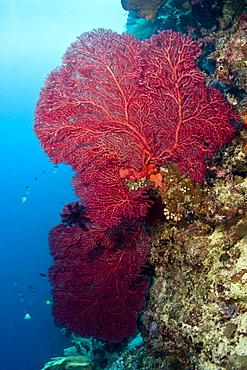 Fan coral Gorgonian