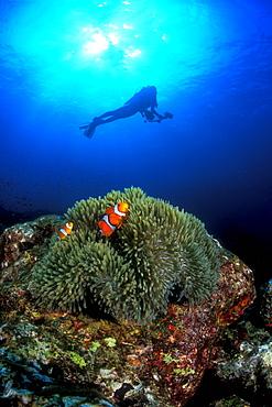 Western Clownfish & diver. Similans, Thailand