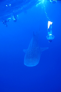 Whale Shark & snorkelers. Ningaloo, Western Australia
