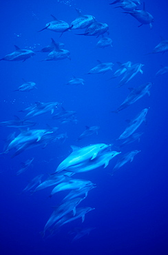 Atlantic Spotted Dolphins (Stenella frontalis). Azores, Portugal, Atlantic